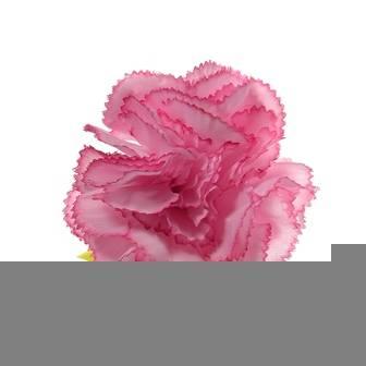 Carnations (AF-032)